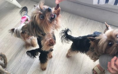 What Is the Lifespan of a Yorkie?