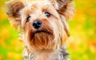 How to Get Rid Of Your Yorkie's Fleas