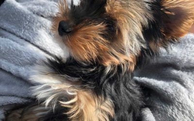 How To Train A Yorkie Puppy? Tips On Training