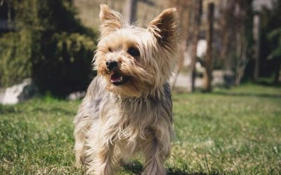 Guide to Buy an Wireless Dog Fence for Yorkie or Small Dogs