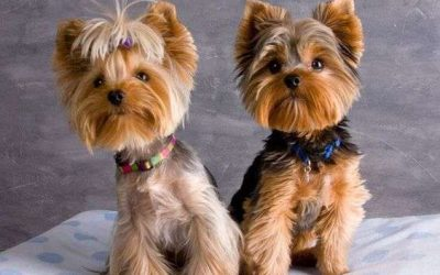 Top Yorkie Haircuts 2020