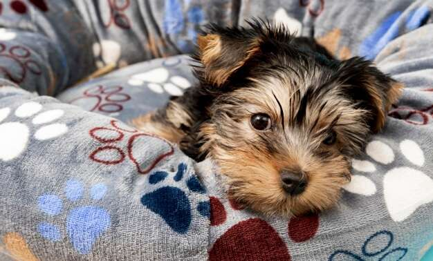 cute-yorkshire-terrier-puppy-relaxing-his-bed