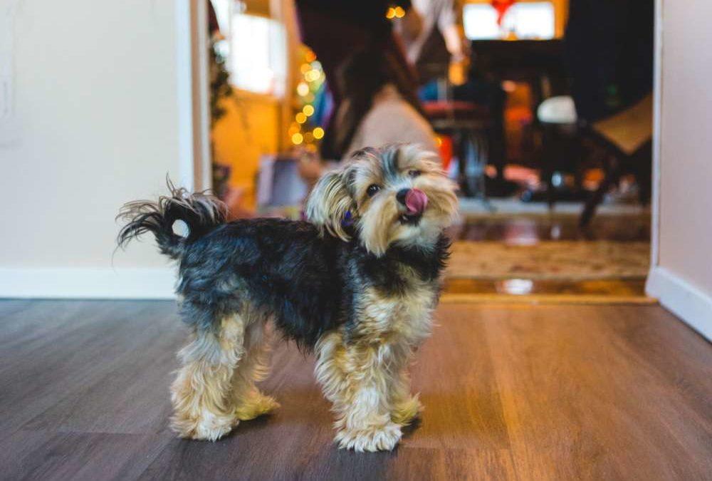Tips for raising a Yorkshire Terrier